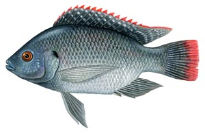Live pure strain Blue tilapia for sale.
